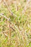 Brown barwił dorosłej samiec Europejskiej modliszki patrzeje kamerę camouflaged w trawie na Bułgarskim nadbrzeżu Fotografia Stock