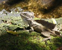 Brown Basilisk, Jesus Christ Lizard. Basilisk lizard on moss Stock Photos