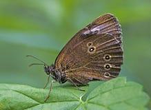 Brown-Basisrecheneinheit - Aphantopus hyperantus Stockfoto