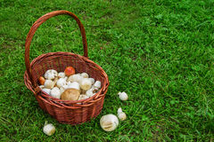The brown basket with champignons on a background of a green grass. Russia, Siberia Stock Image