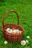 The brown basket with champignons on a background of a green grass. Russia, Siberia Stock Photos