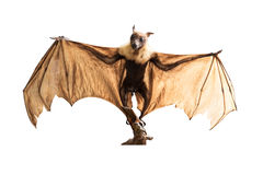 Brown bat flying fox. Big brown bat in ordinary name is Lyle's Flying Fox Stock Photography