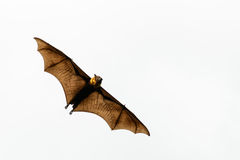 Brown Bat flying for somewhere. Brown bat isolated stock photography