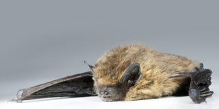 Brown bat lies on white background. Chiroptera lies on white background Stock Photos