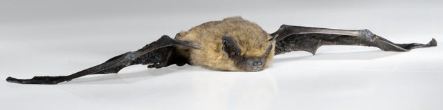 Brown bat lies on white background