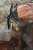 Brown Bat, view from a front. See my other works in portfolio Stock Photography