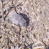 Brown batle on dry soil Stock Image