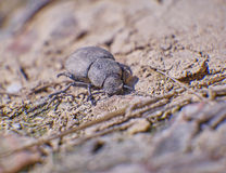Brown batle on dry soil Royalty Free Stock Image