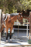 Brown bay horse tied up and ready for grooming Stock Photo
