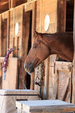 Brown bay horse view out the stable in a barn Stock Photography