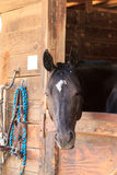 Brown bay horse view out the stable in a barn Royalty Free Stock Photography