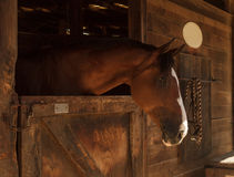 Brown bay horse view out the stable in a barn Stock Photos