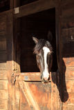 Brown bay horse view out the stable in a barn Royalty Free Stock Image