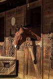 Brown bay horse view out the stable in a barn Stock Photo
