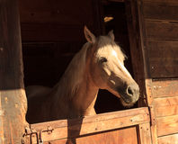 Brown bay horse view out the stable in a barn Royalty Free Stock Images