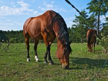 Brown bay horses at the horse farm near fence in summer stock image
