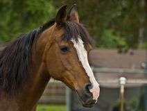 Brown Bay Quarter horse mare. Close up head shot royalty free stock photo