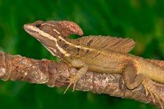 Brown bazyliszek, Basiliscus vittatus w natury siedlisku, Piękny portret rzadka jaszczurka od Costa Rica Bazyliszek w gre Zdjęcia Royalty Free
