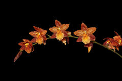 Brown Beallara Orchid Stock Photography