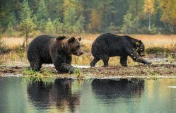 A brown bearы on the bog. A brown bears on the bog in the autumn forest. Adult Big Brown Bear Male. Scientific name: Ursus arctos. Natural habitat, autumn stock images
