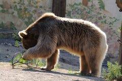 Brown Bear 02 Stock Photos
