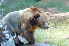 Brown Bear # 1. Brown bear comming out of the pond at the zoo Stock Photos