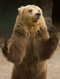 Brown bear. With smiling face Stock Photography