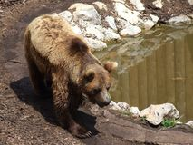 Brown bear. Bear walking near small pond Stock Photography
