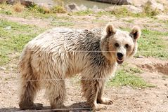 Brown Bear. Walking in the zoo Stock Photo