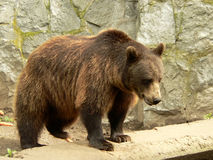 Brown bear. Looking for the food in the zoo (it was feeding time for animals in the zoo Royalty Free Stock Photography