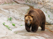 Brown bear. Walking in zoo royalty free stock photos
