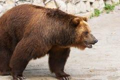 Brown bear. Walking in zoo stock image