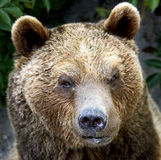 Brown bear 12 Royalty Free Stock Photo