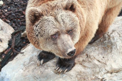 Brown bear. A brown bear in the zoo royalty free stock images