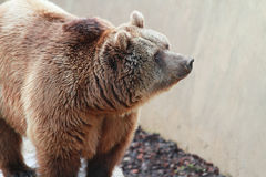 Brown bear. A brown bear in the zoo royalty free stock photos