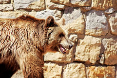 Brown Bear. Walking near the rock wall Stock Images