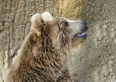 Brown Bear. A head and shoulders of Brown Bear looking up Stock Photos