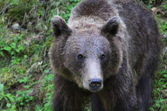 Brown bear. In the mountains royalty free stock photography