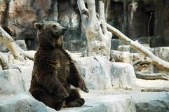 Brown bear. Sitting brown bear on rock in madrid zoo stock photo