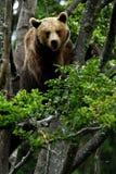 Brown bear. European brown bear in bavarian wood Stock Images