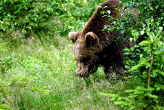 Brown bear. European brown bear in forest Royalty Free Stock Photos