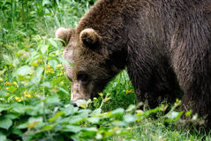 Brown bear. European brown bear in forest Stock Photography