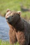 Brown Bear. Large brown bear coming over a hill following a scent stock photography