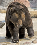 Brown bear 14 Stock Image
