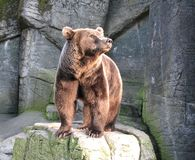 Brown Bear. Looking to the sun. Picture taken in the zoo of Copenhagen Royalty Free Stock Photo