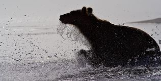 The brown bear Stock Photography