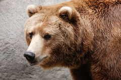Brown Bear. Closeup of brown bear head and shoulders Stock Photos