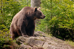 Brown bear. Sitting on the rock focus on the eye Stock Image