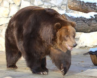 Brown bear. In Moscow zoo Royalty Free Stock Photo