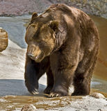 Brown bear 16 Royalty Free Stock Photos